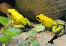 Bicolored Poison Dart Frog 1 Royalty Free Stock Photo