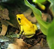 Bicolored Poison Dart Frog 3. Portrat of Bicolored Poison Dart Frog Stock Photos