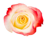 Bicolored red, cream and yellow rose on white Royalty Free Stock Photography