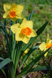Bicolored trumpet daffodils in full sun. Two bicolored trumpet daffodils in full sun Stock Images