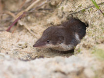Bicolored White-toothed Shrew Royalty Free Stock Photo