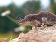 Bicolored White-toothed Shrew Royalty Free Stock Photography