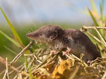 Bicolored White-toothed Shrew Royalty Free Stock Images
