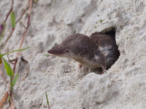 Bicolored White-toothed Shrew Royalty Free Stock Photos