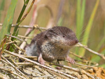 Bicolored White-toothed Shrew Stock Photos