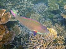 bicolour parrotfish Мальдивов Стоковые Изображения RF