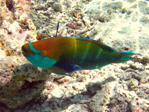 Bicolour parrotfish. This is a big Bicolour Parrotfish, a common fish in indian ocean (Maldives Stock Photo
