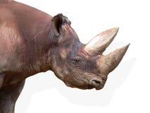 bicornis黑色黑犀属题头犀牛 库存图片