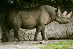 bicornis黑色黑犀属犀牛 免版税图库摄影