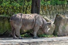 Bicornis Diceros носорога стоковая фотография rf