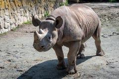 Bicornis Diceros носорога стоковые фотографии rf