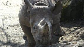 Bicornis do Diceros do rinoceronte vídeos de arquivo