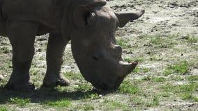 Bicornis do Diceros do rinoceronte video estoque