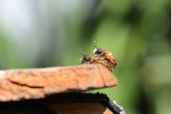 Bicornis salvajes de Osmia de la abeja que se acoplan en el tejado del hotel del insecto en springtim Fotografía de archivo libre de regalías
