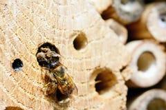 Bicornis salvajes femeninos de Osmia de la abeja closeing el agujero de la jerarquía con fango Foto de archivo libre de regalías
