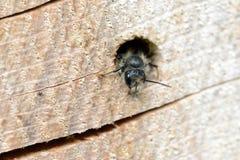 Bicornis salvajes solitarios de Osmia de la abeja que miran fuera de un agujero en un tr Imágenes de archivo libres de regalías