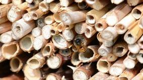 Bicornis selvaggi di Osmia dell'ape sul riparo dell'insetto fatto dei bastoni di legno e di bambù primavera video d archivio