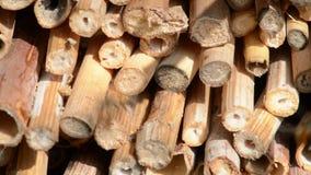 Bicornis selvaggi di Osmia dell'ape sul riparo dell'insetto fatto dei bastoni di legno e di bambù primavera stock footage