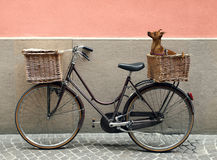 Bicycle and Chihuahua. Detail of a parking bicycle with two basket with a chihuahua little dog inside of one of them Stock Images