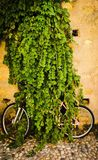 Bicycle, completely eaten by a bush, in the village Stock Image