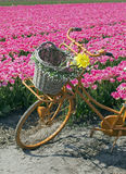 Bicycle in flower field Royalty Free Stock Photo