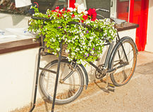 Bicycle with flowers. Shop decorated with a vintage delivery bike whose basket is covered with red and white flowers and a creeper Stock Images