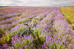 Bicycle on a lavender field Royalty Free Stock Photography