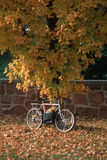 Bicycle leaning against tree with autumn leaves Royalty Free Stock Image