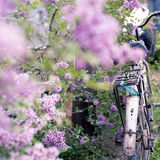 Bicycle and Lilac flowers Stock Photo