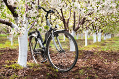Bicycle parked in spring orchard. Bicycle parked under tree in blooming cherry orchard Royalty Free Stock Photography