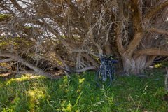 Bicycle parking under big leafless Gum tree at Bay of Fires in T Stock Photography