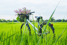 Bicycle in the rice field Royalty Free Stock Photography