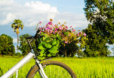 Bicycle in the rice field Royalty Free Stock Photos