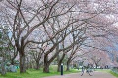 Bicycle sakura garden Stock Images