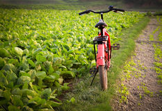 Bicycle beside a spinach field Stock Photo