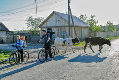 Bicycle tourists stop on road with cows Stock Images