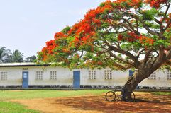 Bicycle under a flamboyant tree in courtyard of a school. Africa, Congo Royalty Free Stock Image
