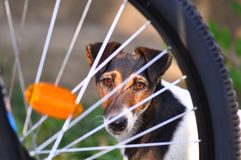 Bicycle wheel with dog. Macro detail of dog and blurry mountain-bike wheel with reflectors royalty free stock image
