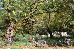 Bicycles and plane trees Royalty Free Stock Photos