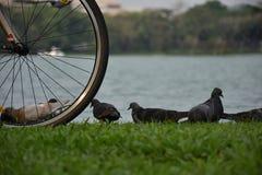 Bicyclettes garées près du lac et de la colombe sur l'herbe Images stock