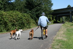 Bicycling with Dogs. A man bicycles with his three dogs Royalty Free Stock Photos
