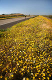 Bicyclist & Spring Bloom. A Bicyclist wearing a yellow jersey speeds by the spring bloom of yellow wild flowers growing along the bike path and Highway 75 Royalty Free Stock Image