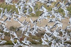 Bid flock of black headed gulls in flight. A lot of birds stock image
