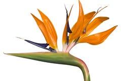 Bid of Paradise Flower Stock Image