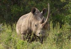 Bid rhino in Africa. A big rhino in Africa stock image