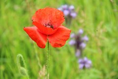 Bide Thou Where The Poppy Blows. A single red poppy growing in a patch of wildflowers in a field Royalty Free Stock Image