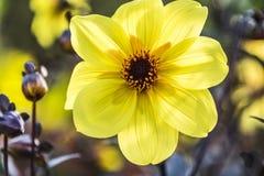 Bidens, желтый цветок, Bur-ноготк Стоковое фото RF