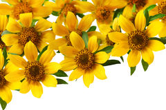 Bidens cernua Set Stock Photography