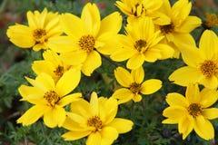 Bidens ferulifolia Royalty Free Stock Images