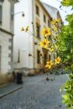 Bidens ferulifolia Royalty Free Stock Photo